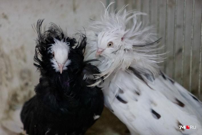 У якобинов перья покрывают всю голову