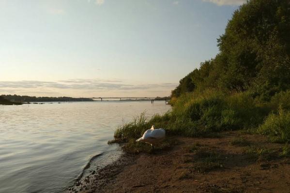 Лебедь сидел на одном месте и не боялся людей вокруг