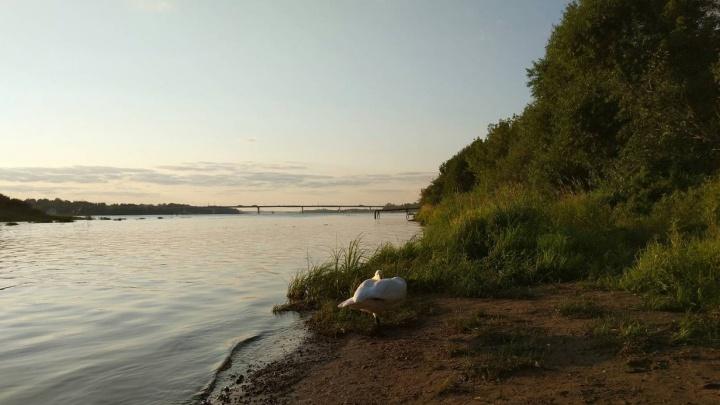 Общительный лебедь-кликун, потерявшийся в Ярославле, нашёл свой дом