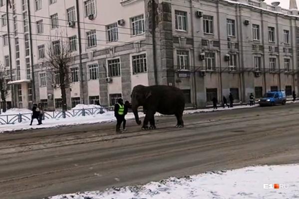 Слоны шли прямо по проезжей части