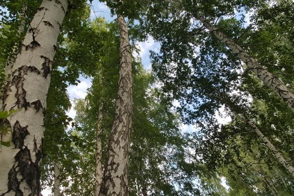 Деревья зауралец спилил в леву возле поселка Чернавский
