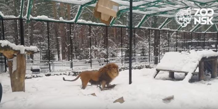 Лев в снегах: зоопарк опубликовал видео, на котором дурачится дикий хищник Сэм