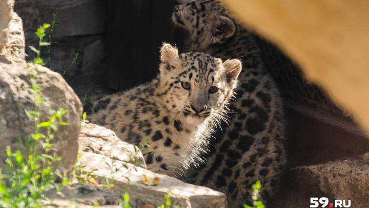 Пермякам предлагают придумать имена трем барсятам в зоопарке