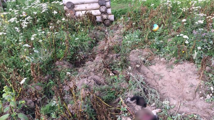 В Башкирии волки нападают на домашних животных, три собаки погибли