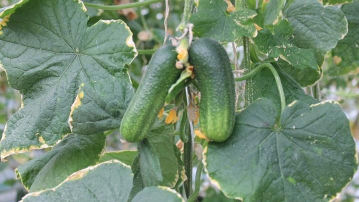 Главное, чтобы огурчик хрустел: как на Крайнем Севере выращивают свежие овощи