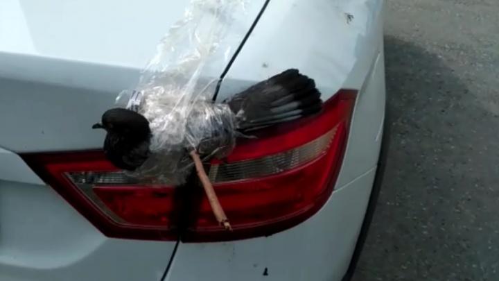 Бился о машину, пытаясь выбраться: уральцы спасли голубя, застрявшего лапой в багажнике легковушки