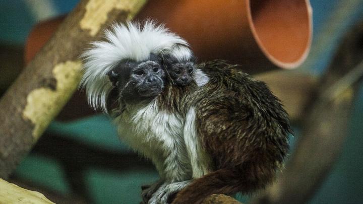 Две щебечущих обезьянки из Новосибирского зоопарка переехали жить в другой регион