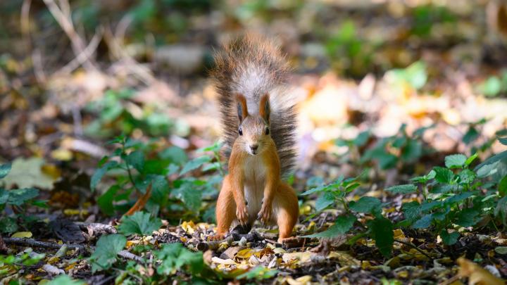 Рыжая осень — рыжие белки в ростовских парках