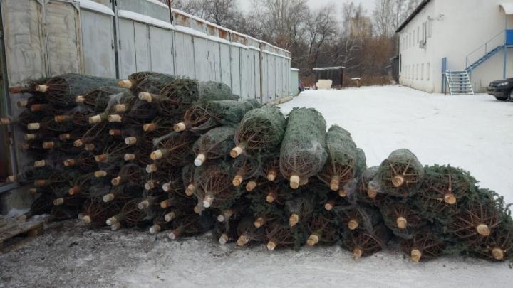 Уралец закупил элитные новогодние ёлки у Варламова на 1,5 миллиона, но они оказались никому не нужны