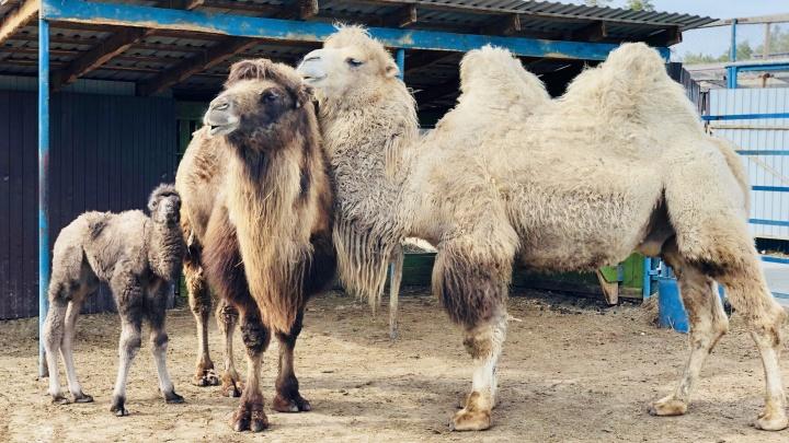 С прибавлением! В тюменском зоопарке показали, как выглядят новорожденные верблюды (это очень мило)