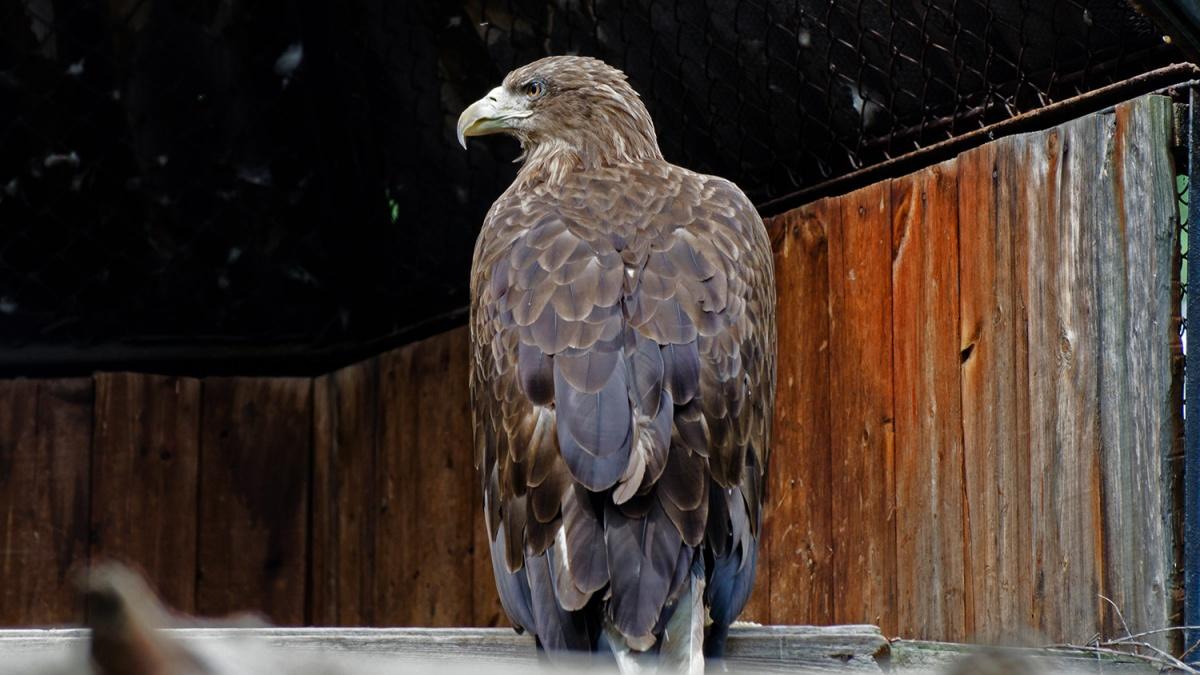 Орланы-белохвосты обитают в лесах в окрестностях Новосибирска