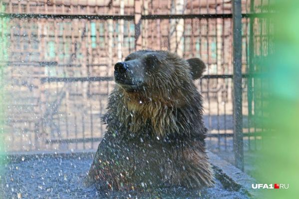 В Уфе медведей можно увидеть только в парке Лесоводов или в приезжем цирке