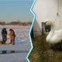 Тоболяки спасли от смерти раненого лебедя, которого пыталась поймать и съесть лиса