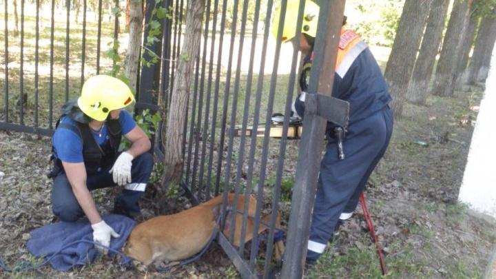 Тольяттинские спасатели вызволили косулю, которая застряла в заборе