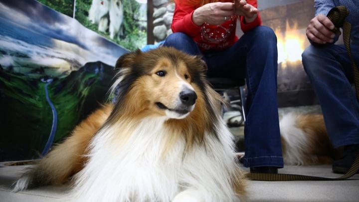 Фристайл и дефиле от четвероногих питомцев: на «Пермской ярмарке» пройдёт выставка собак