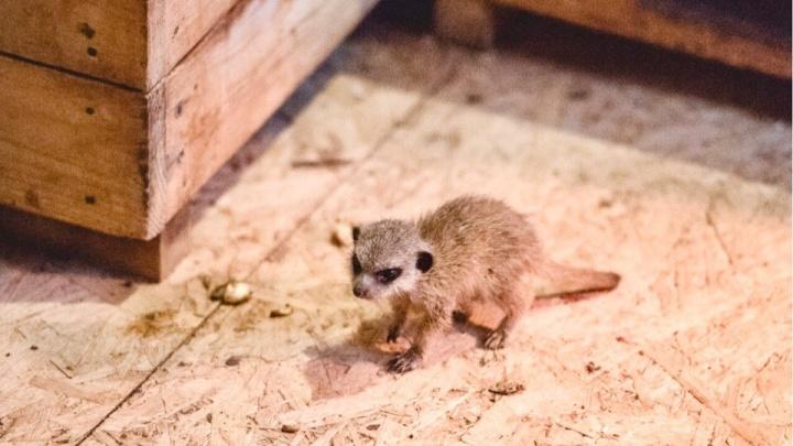 Пугливый малыш: в Ростовском зоопарке родился сурикат