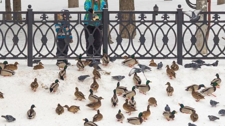 Дружное «Кряяя!»: в Самаре утки заполонили Пятую просеку