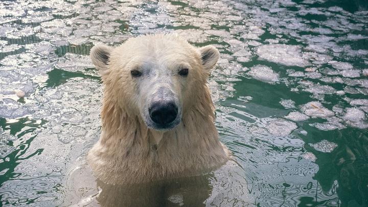 Игрушки для белых медведей начали производить под Красноярском