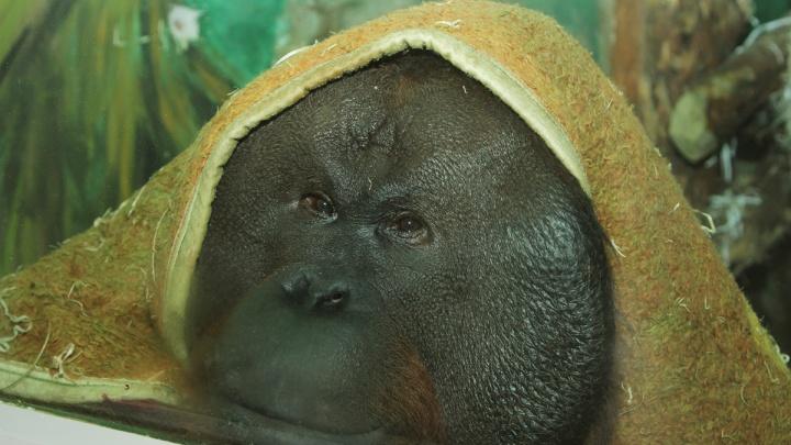 Звери из зоопарка ждут подарков от уральцев. У орангутана спецзаказ — пледы и покрывала