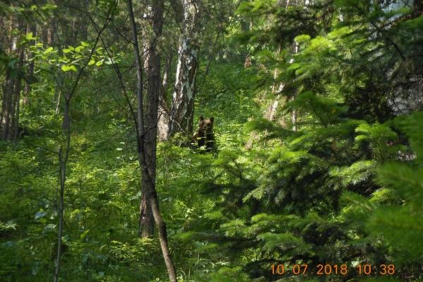 С начала июля было зафиксировано 11 случаев встречи туристов с медведицей и медвежатами