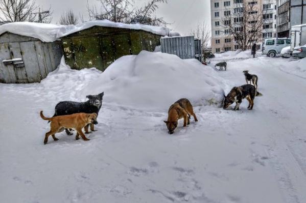 Стая бездомных собак бегает по всему Военному городку