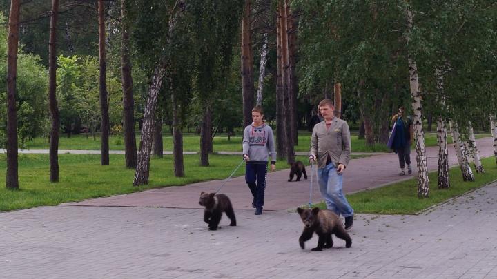 В Нарымском сквере заметили 3 гуляющих медвежат