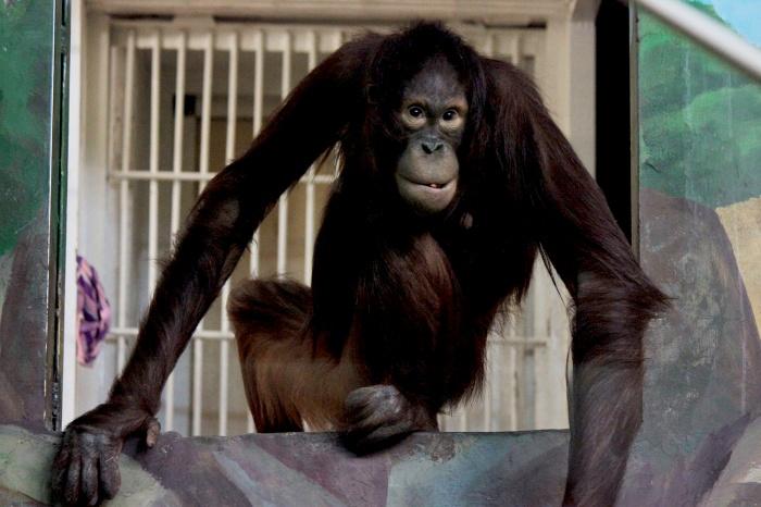 Орангутан Мишель