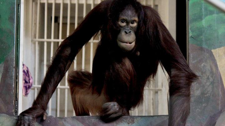 В Новосибирский зоопарк переехала обезьяна-художник по имени Мишель