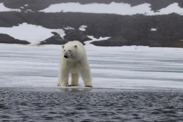 Последние два дня близко к посёлкам медведей не подпускают
