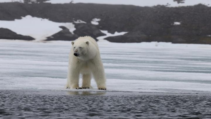Вылет ученых на Новую Землю для решения проблемы с белыми медведями отложили из-за непогоды