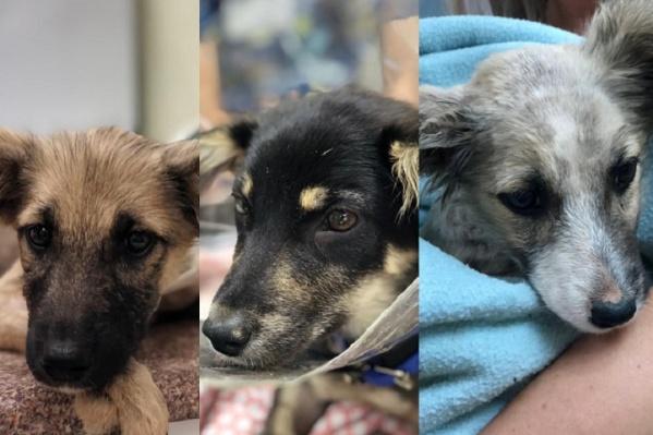 Собакам четыре месяца. Когда они подрастут, будут не выше колена