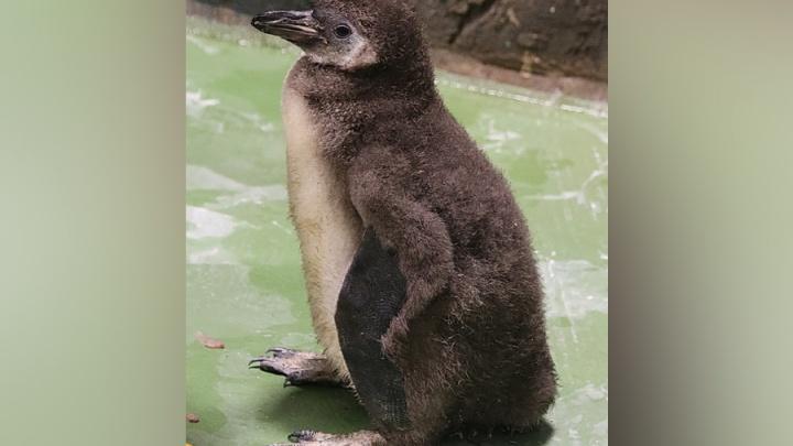 Вылупился и ходит вразвалочку: в Новосибирском зоопарке родился пингвин с серым пухом
