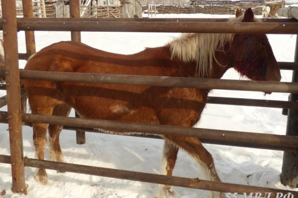 Рыжая лошадь с белой гривой смогла спастись и вернулась домой с раной от дроби