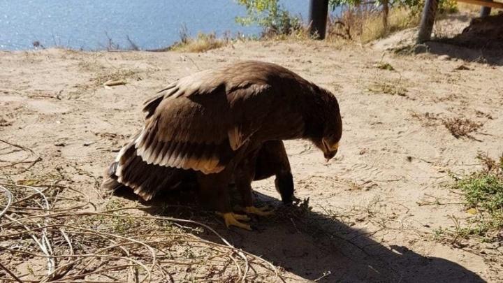 «Птицы идут к человеку за помощью»: к волгоградцам прилетают больные орлы и филины