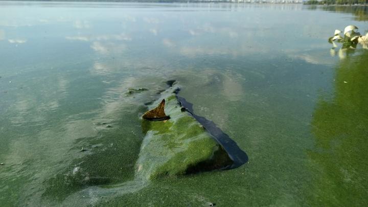 «Виноваты сливы отходов»: Шершнёвское водохранилище зацвело в середине осени
