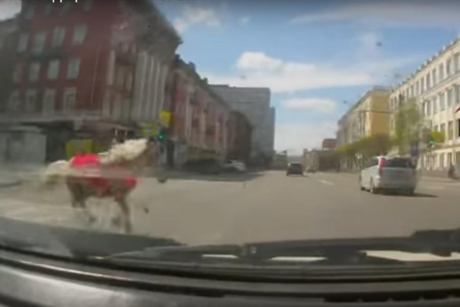 Вцентре Красноярска перепуганный пони бросился под колеса проезжающей машины