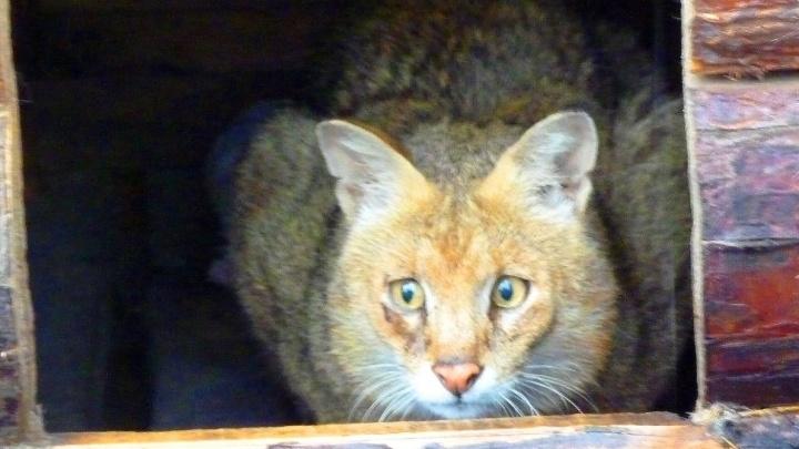 В Большереченском зоопарке ищут невесту для краснокнижного кота