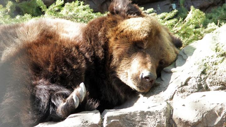 Первым в берлогу ушел Черныш: медведи в Екатеринбургском зоопарке начали укладываться в спячку