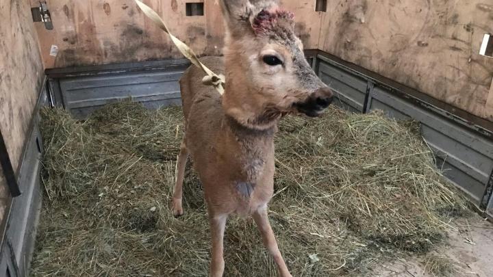 Назвали Васькой: в Самарской области спасли детеныша косули