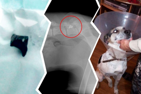 Бим получил ранение в тазобедренный сустав