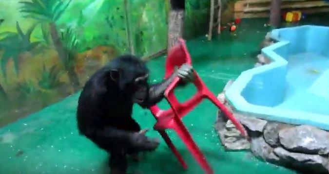 Шимпанзе Люся устроила разборки с розовым стулом в новосибирском зоопарке