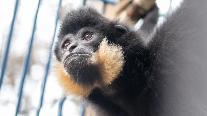 В Новосибирский зоопарк привезли вымирающий вид гиббонов с жёлтыми щеками
