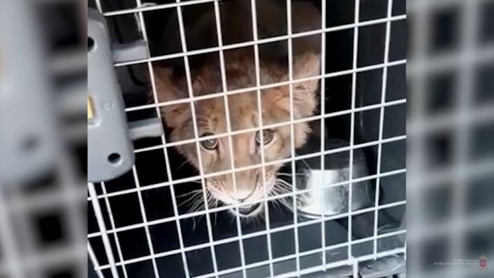 Дагестанца с обезьяной и львенком задержали на трассе в Волгоградской области