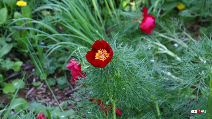 В самарском Ботаническом саду зацвел «аленький цветочек»