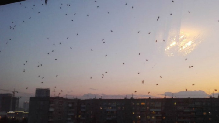 «Это просто какой-то апокалипсис»: новосибирцев атакуют лесные клопы