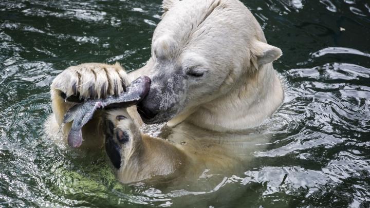 Сашими для Кая: белые медведи вышли на рыбалку в Новосибирском зоопарке
