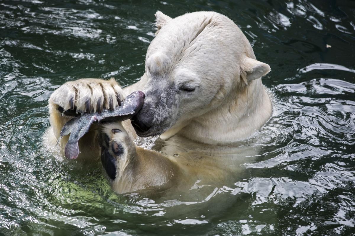 В зоопарке объявили, что белым медведям будут давать живую рыбу два раза в неделю