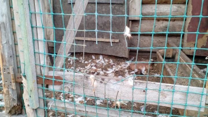 Чупакабра возвращается: в башкирском селе хищник расправился с выводком кур