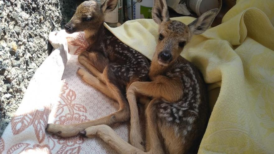 Двух оленят поселили в зоопарке. Они едва не погибли на «Столбах» от «доброты» туристов