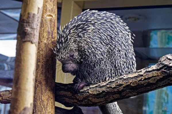 Цепкохвостых дикобразов разместили в павильоне «Тропический мир»